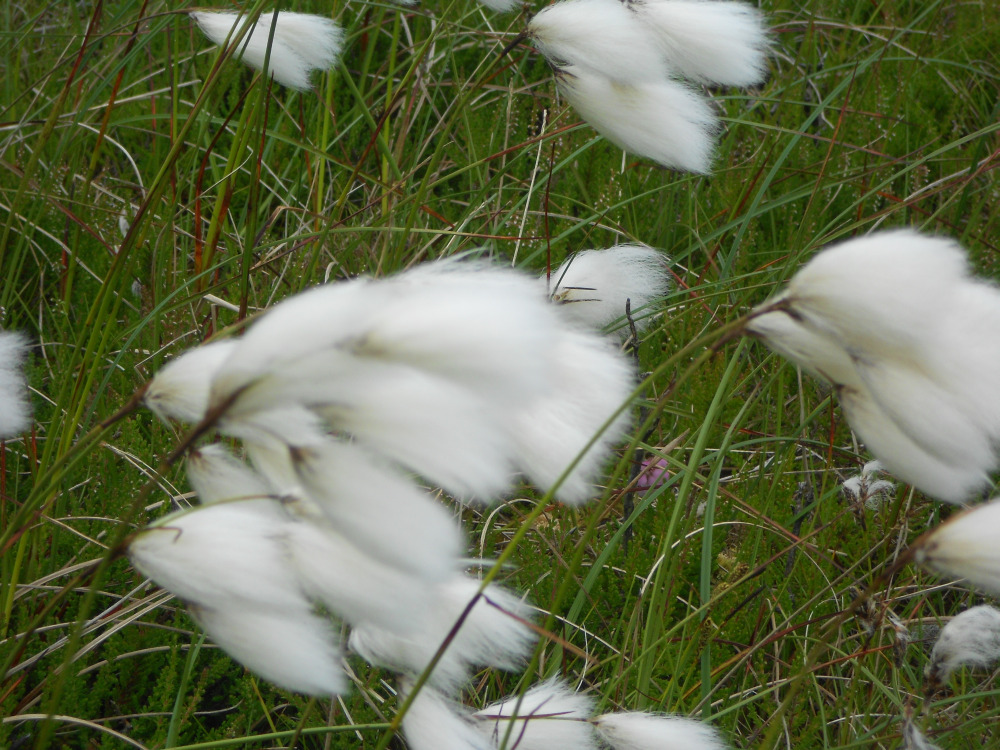 Bog Cotton blowing in the wind