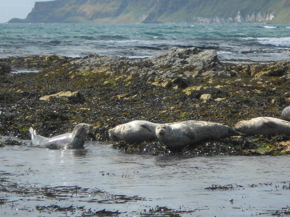 Watching the seals on Rathlin Island