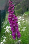 Foxgloves in Ireland