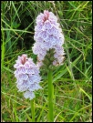 Orchid in Donegal, Ireland